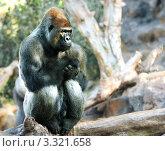 Горилла сидит на дереве. Стоковое фото, фотограф Олеся Довженко / Фотобанк Лори