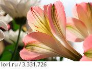 Красивая розовая альстромерия крупным планом. Стоковое фото, фотограф Алла Ушакова / Фотобанк Лори