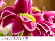 Розовая хризантема крупным планом. Стоковое фото, фотограф Алла Ушакова / Фотобанк Лори