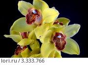 Желтая орхидея. Стоковое фото, фотограф Юлия Антофагаста / Фотобанк Лори