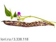 Купить «Стручок фиолетовой пятнистой фасоли с цветком», фото № 3338118, снято 17 августа 2011 г. (c) Резеда Костылева / Фотобанк Лори