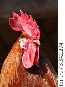 Рыжий петух с большим красным гребнем. Стоковое фото, фотограф Сыщиков Дмитрий / Фотобанк Лори