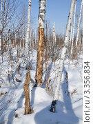 Мертвый лес. Стоковое фото, фотограф Александр Тараканов / Фотобанк Лори