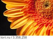 Цветок гербера, макро. Стоковое фото, фотограф ElenArt / Фотобанк Лори