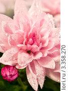 Цветок хризантема с каплями воды. Стоковое фото, фотограф ElenArt / Фотобанк Лори
