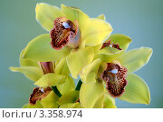 Желтая орхидея на сером фоне. Стоковое фото, фотограф Юлия Антофагаста / Фотобанк Лори