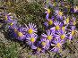 Байкальские фиолетовые ромашки - астра альпийская (Aster alpinus L.), фото № 3359578, снято 4 сентября 2011 г. (c) Виктория Катьянова / Фотобанк Лори