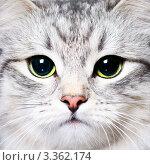 Купить «Красивая кошка», фото № 3362174, снято 6 февраля 2012 г. (c) Дмитрий Наумов / Фотобанк Лори