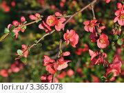 Цветение айвы. Стоковое фото, фотограф Светлана Давыдова / Фотобанк Лори
