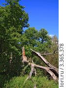Купить «Сломанное сухое дерево», фото № 3365378, снято 9 сентября 2009 г. (c) Сергей Яковлев / Фотобанк Лори