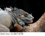 Игуана. Стоковое фото, фотограф Сергей Кочетов / Фотобанк Лори