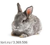 Купить «Маленький серый кролик», фото № 3369506, снято 17 ноября 2010 г. (c) Олег Жуков / Фотобанк Лори