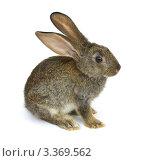 Купить «Кролик на белом фоне», фото № 3369562, снято 31 июля 2010 г. (c) Олег Жуков / Фотобанк Лори