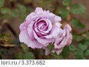 Купить «Голубая роза. Редкий сорт роз», фото № 3373682, снято 15 июля 2011 г. (c) Сычёва Виктория / Фотобанк Лори