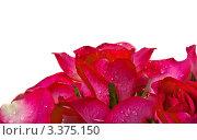 Розы в каплях воды на белом фоне. Стоковое фото, фотограф Сергей Коршенюк / Фотобанк Лори