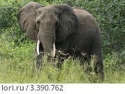 Слон на природе (2012 год). Стоковое фото, фотограф Емельянов Андрей / Фотобанк Лори