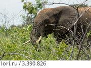 Слон в чаще (2012 год). Стоковое фото, фотограф Емельянов Андрей / Фотобанк Лори