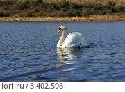 Купить «Лебедь-шипун  плывет по воде», фото № 3402598, снято 27 марта 2012 г. (c) Татьяна Кахилл / Фотобанк Лори