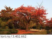 Купить «Красное красивое осеннее дерево сакура в парке Сеула в лучах заходящего солнца», фото № 3402662, снято 30 октября 2009 г. (c) Ольга Липунова / Фотобанк Лори