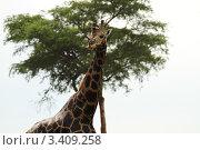 Жираф на фоне дерева (2011 год). Стоковое фото, фотограф VASYL STOYKA / Фотобанк Лори