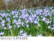 Купить «Хионодокса (Chionodoxa) на поляне», фото № 3414654, снято 26 апреля 2011 г. (c) Алёшина Оксана / Фотобанк Лори