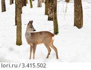 Купить «Косуля в зимнем лесу», эксклюзивное фото № 3415502, снято 13 марта 2012 г. (c) Игорь Низов / Фотобанк Лори