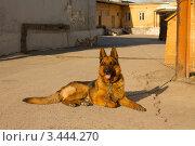 Немецкая овчарка. Стоковое фото, фотограф Лев Соловьев / Фотобанк Лори