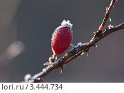 Иней на шиповнике. Стоковое фото, фотограф Николай Белин / Фотобанк Лори