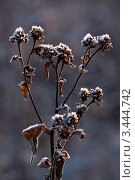 Иней  на сухоцвете. Стоковое фото, фотограф Николай Белин / Фотобанк Лори