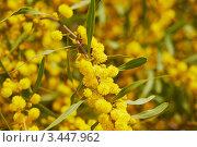 Цветущая мимоза. Стоковое фото, фотограф Миронова Евгения / Фотобанк Лори