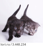 Два беззаботных котёнка. Стоковое фото, фотограф Вячеслав Зяблов / Фотобанк Лори