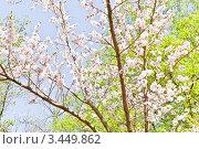 Цветущий абрикос. Стоковое фото, фотограф Евгений Медведев / Фотобанк Лори