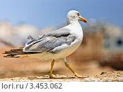 Купить «Белая чайка крупным планом», фото № 3453062, снято 26 июля 2006 г. (c) Олег Селезнев / Фотобанк Лори
