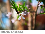 Цветение сливы. Стоковое фото, фотограф Артеменко Арина / Фотобанк Лори