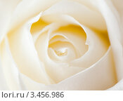 Купить «Белая роза, макро», фото № 3456986, снято 21 апреля 2012 г. (c) E. O. / Фотобанк Лори