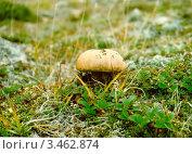 Купить «Чукотский АО, тундра, гриб подберезовик», фото № 3462874, снято 7 июля 1998 г. (c) Наталья Спиридонова / Фотобанк Лори