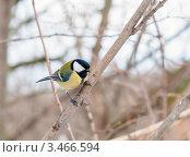 Купить «Синица на ветке», эксклюзивное фото № 3466594, снято 13 марта 2012 г. (c) Игорь Низов / Фотобанк Лори