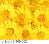 Желтые цветы. Фон. Стоковое фото, фотограф Кардашева Ирина Александровна / Фотобанк Лори