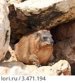 Капский (скалистый) даман  (Procavia capensis) Стоковое фото, фотограф Татьяна Белова / Фотобанк Лори