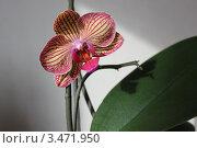 Лист и цветок полосатой желто-розовой орхидеи на ветке. Стоковое фото, фотограф Ершова Дора Владимировна / Фотобанк Лори