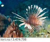 Купить «Крылатка-зебра, рыба-зебра или полосатая крылатка (Pterois volitans) на фоне кораллового рифа», фото № 3474798, снято 26 мая 2019 г. (c) Сергей Дубров / Фотобанк Лори