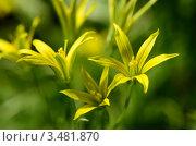 Купить «Фон из жёлтых цветов», эксклюзивное фото № 3481870, снято 28 апреля 2012 г. (c) Елена Коромыслова / Фотобанк Лори