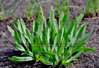 Лук-слизун (Allium nutans) растет на грядке на даче