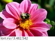 Крупный шмель на розовом цветке георгина. Стоковое фото, фотограф Щеголева Ольга / Фотобанк Лори