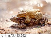 Купить «Спаривание лягушек», фото № 3483262, снято 1 мая 2012 г. (c) Даша Богословская / Фотобанк Лори