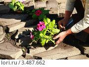 Посадка петуньи. Стоковое фото, фотограф Кузнецов Николай / Фотобанк Лори