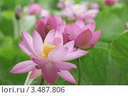 Священный цветок лотоса. Стоковое фото, фотограф Евгений Ковешников / Фотобанк Лори