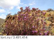 Купить «Цветущий багульник», фото № 3491414, снято 1 мая 2012 г. (c) Виталий Матонин / Фотобанк Лори