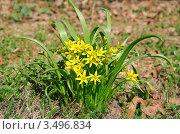 Купить «Гусиный лук (Gagea)», фото № 3496834, снято 26 апреля 2011 г. (c) Алёшина Оксана / Фотобанк Лори