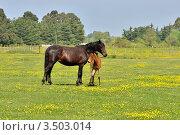 Купить «Жеребенок около лошади на поле летом», фото № 3503014, снято 2 мая 2012 г. (c) Julia Ovchinnikova / Фотобанк Лори